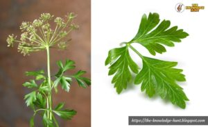 Parsley leaves - home remedies for boil